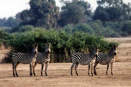 Zebra_Crawshay.jpg
