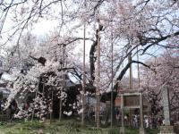 山梨桜06