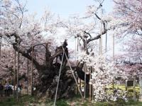 山梨桜07