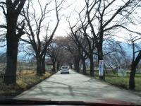 山梨桜10
