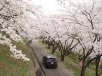 山梨桜12