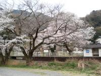 山梨桜13