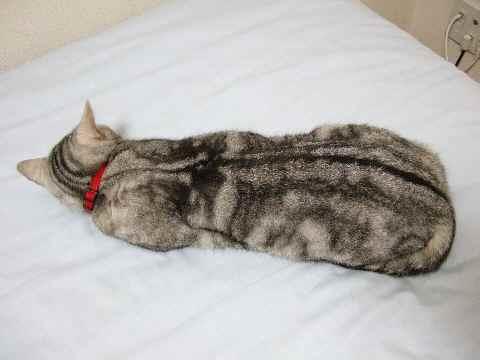 のびてる猫1