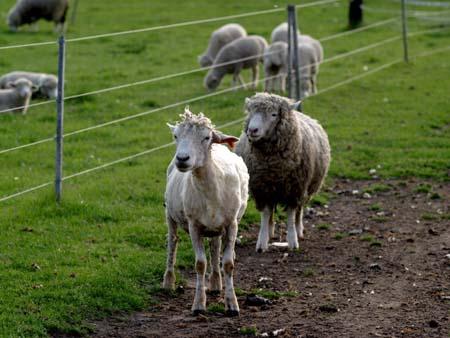 ファンキーな羊