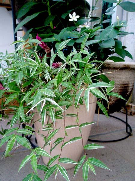 笹の寄せ植え