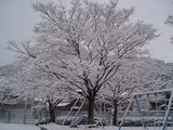 でっかい桜の木