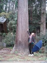 でっかい杉の木