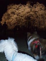 さっきと同じ桜?