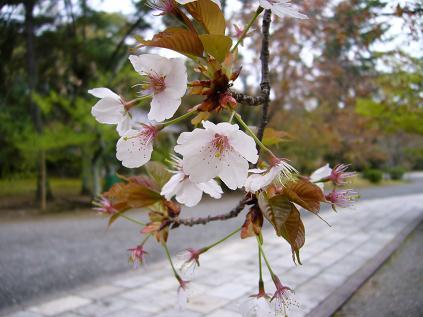 京都・お花見つあー。 広隆寺