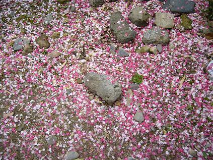 京都・お花見つあー。 はなびら。