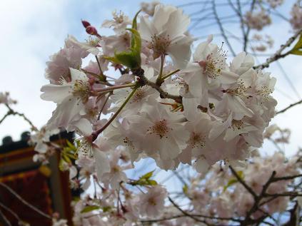京都・お花見つあー。 仁和寺の桜