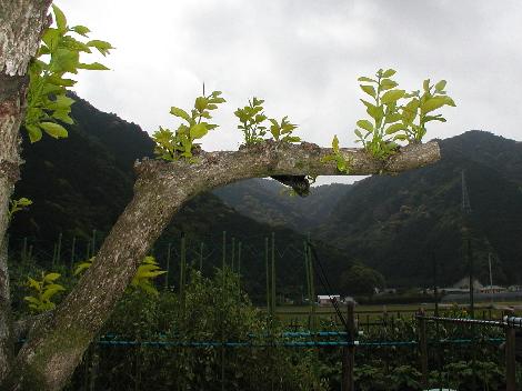柿木の新芽