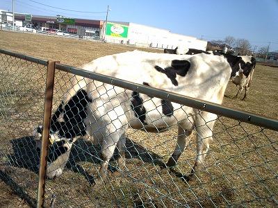 ダイソーの隣牛