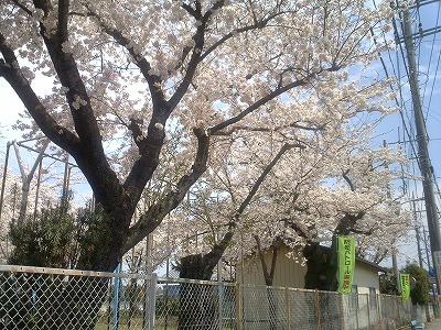 学校の桜2