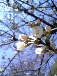 08/03/25桜咲く