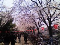 桜まつり桜