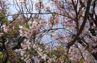 お花見in宮島 005