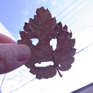 葉っぱの顔