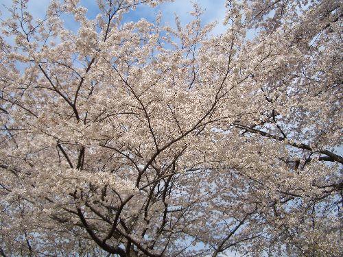 桜2011-1