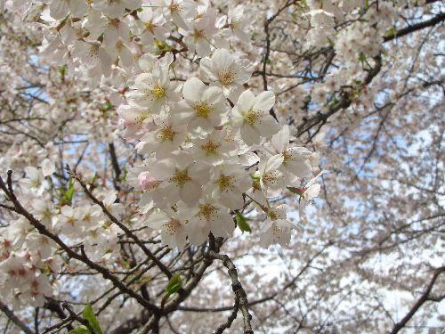 桜2011-2