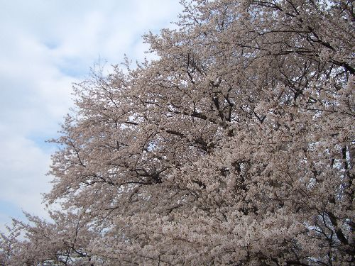 桜2011-3
