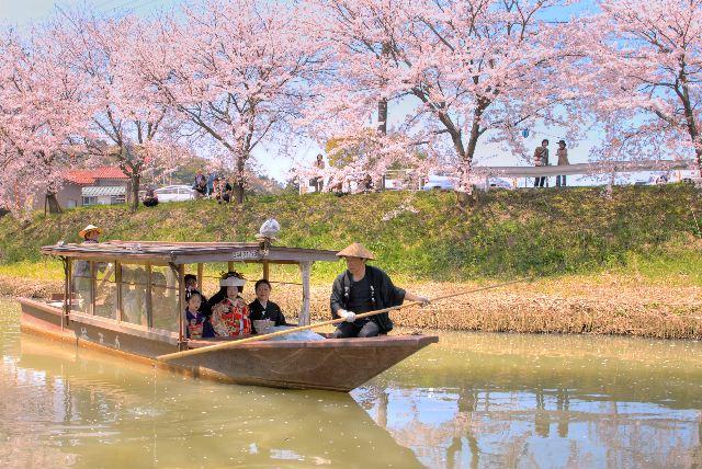 満開の桜が花嫁を祝福します