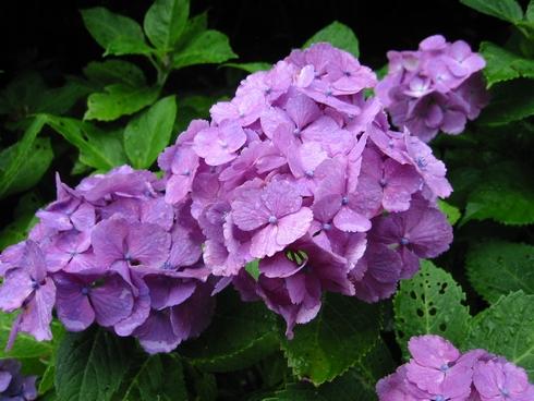 成就院の紫陽花のアップ