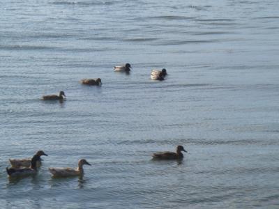 琵琶湖の鳥2