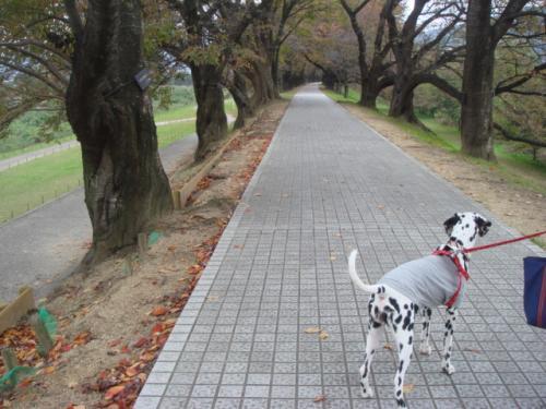 桜つづみ1