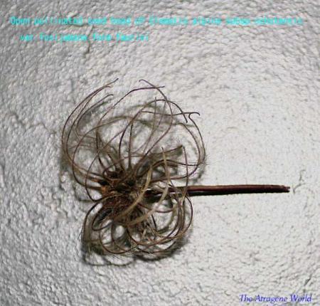 OP seed head of fauriei0409200901