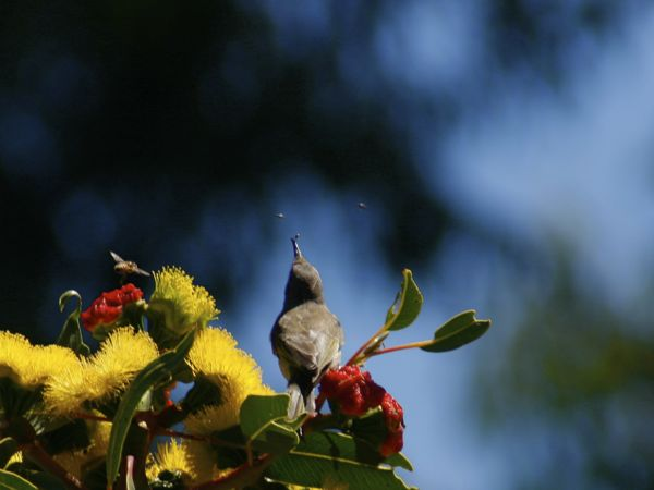 0225BrownHoneyeater7493.jpg