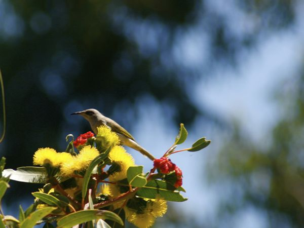 0225BrownHoneyeater7496.jpg