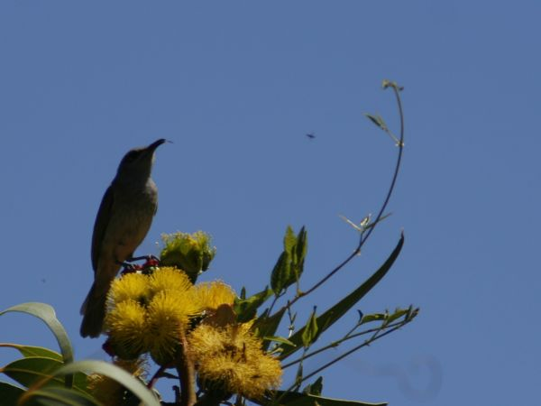 0225BrownHoneyeater7497.jpg