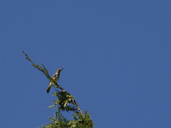 0225BrownHoneyeater7520.jpg