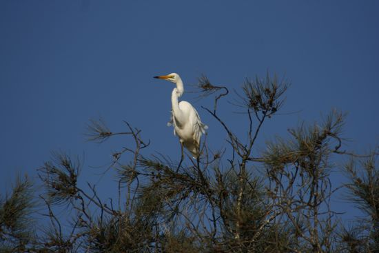 0311GreatEgret8688.jpg