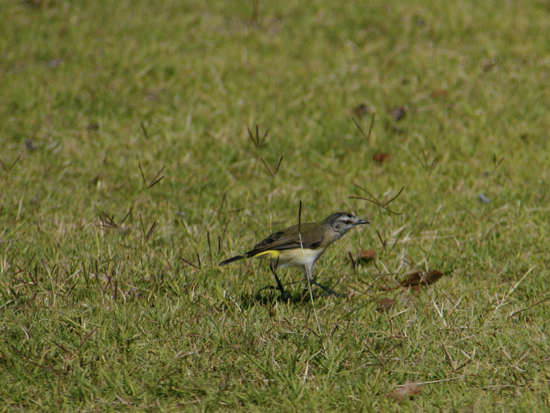 0321YellowRumpedThornbill9617.jpg