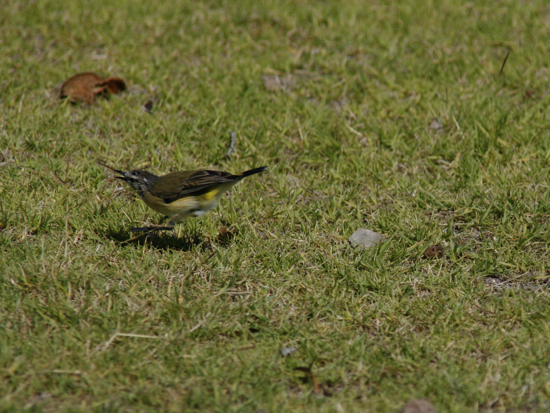 0321YellowRumpedThornbill9622.jpg