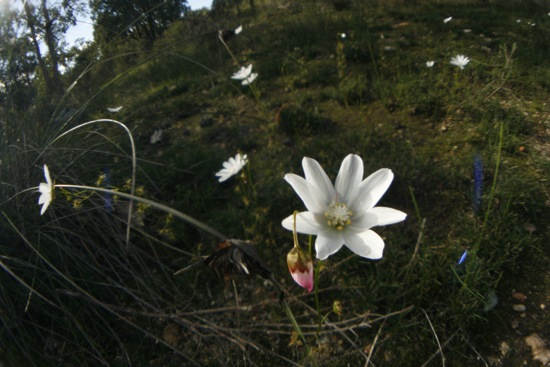 0613DroseraHeterophylla2686.jpg