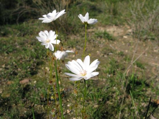 0614DroseraHeterophylla0171.jpg