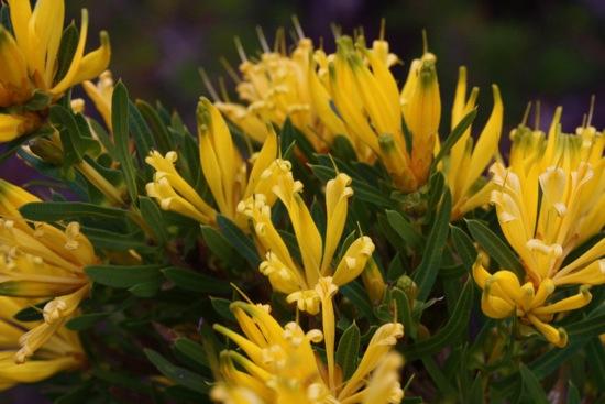 0626LambertiaMultiflora0312.jpg