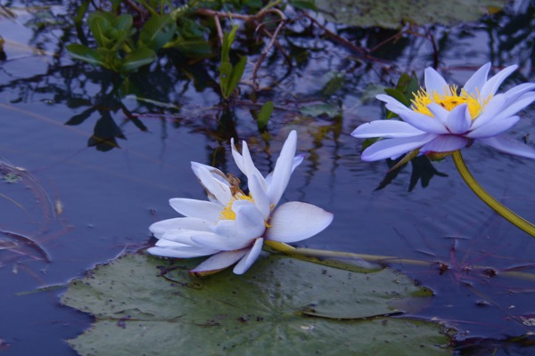 0705WaterLily.jpg