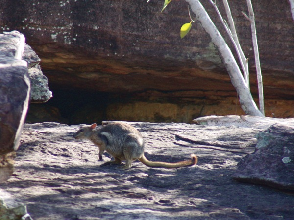 0706Short-earedRock-wallaby.jpg