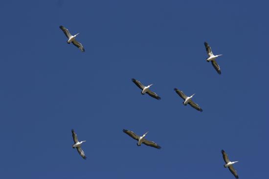 0321ペリカン飛翔9318