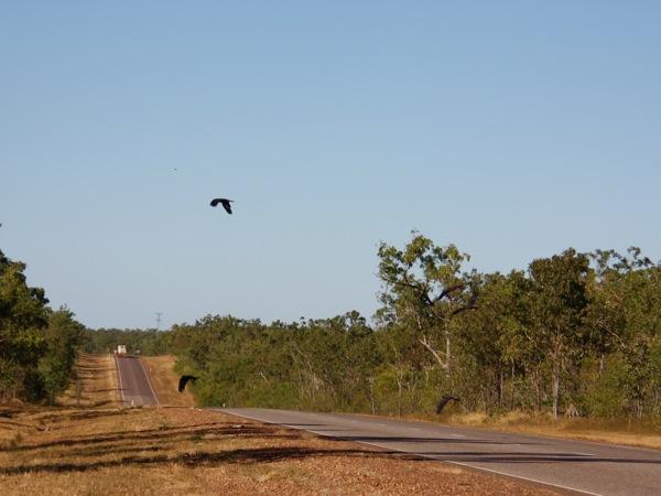 0708Red-tailedBlack-cockatoo群