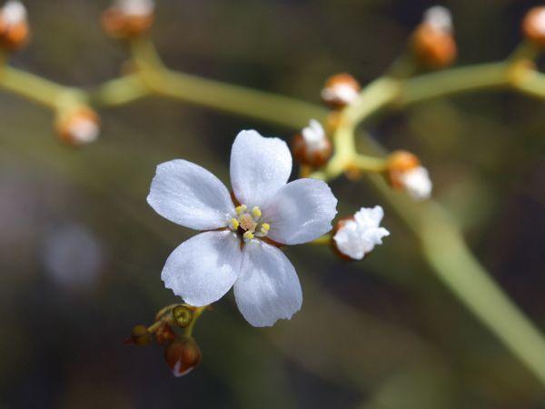 0726Dギガンティア花アップ