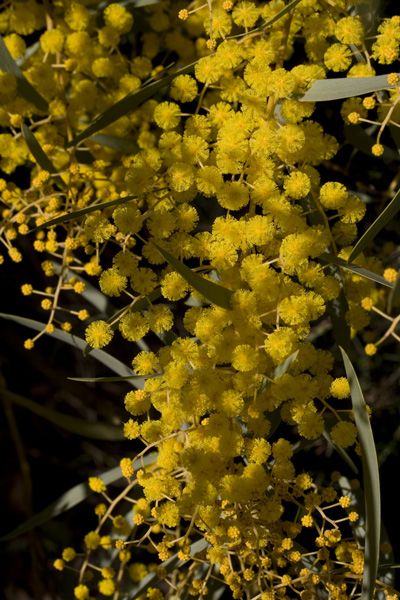 Acacia2.0905.jpg