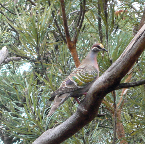 CommonBronzewing.10.11.06.jpg