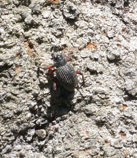 CommonRed-leggedWeevil.jpg