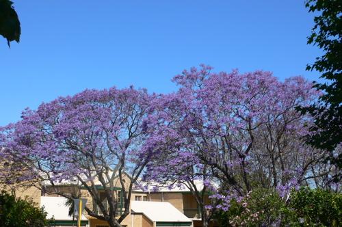 Jacaranda.2.02.11.06.jpg