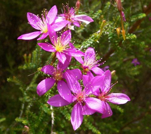 PinkSummerStarflower.jpg